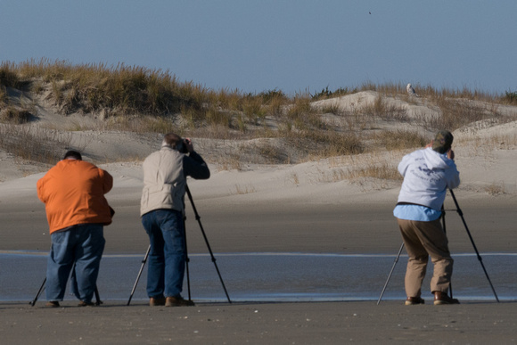 After flying back into the dunes, the Snowy Owl poses for the paparazzi