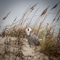Snowy Owl on the Dune in Ocracoke