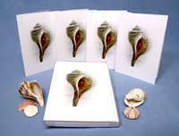 Holiday Whelk Shell (boxed set of 8)