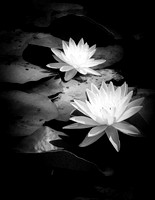 Two delicate Scented Pond Lilies (vertical, B&W)