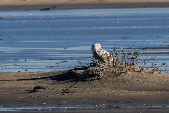 The Snowy Owl keeps an eye on the photographers