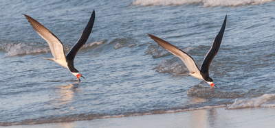 Two Black Skimmers fishing the water's edge at twilight