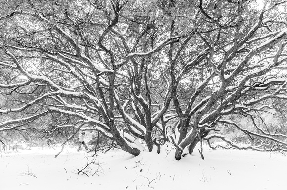 Snow covered Live Oak