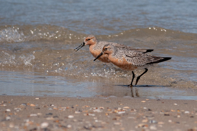 Our first two Red Knots of Spring, found north of Corolla, NC