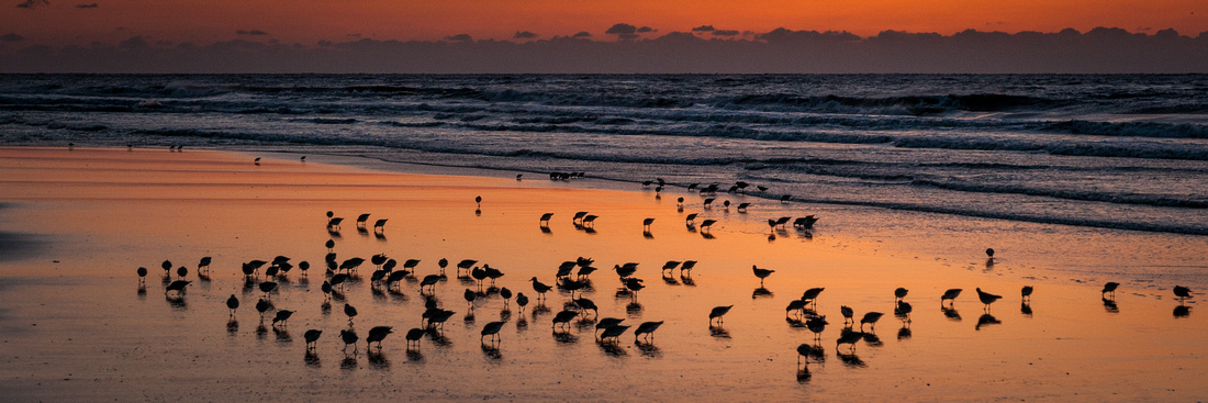Red Knots ignore the sunrise on Ocracoke, NC