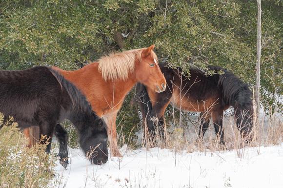 Corolla Wild Horses in the Snow