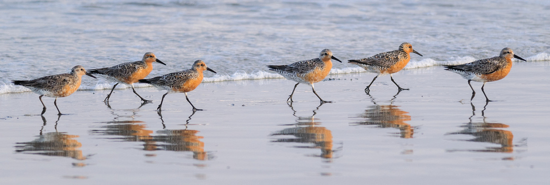 A line of Red Knots on Ocracoke Beach