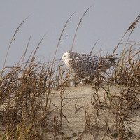 Snowy Owl on the Dune in Ocracoke