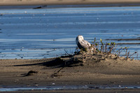 The Snowy Owl keeps an eye on the photographers