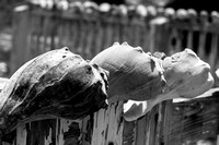 Whelk shells cap the fence at the abandoned Coast Guard station on Cape Lookout, NC (B&W)