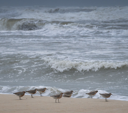 Red Knots facing the wind on Ocracoke Beach