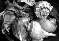 A collection of Outer Banks Shells (B&W)